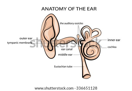 anatomical illustration of the ear - stock vector