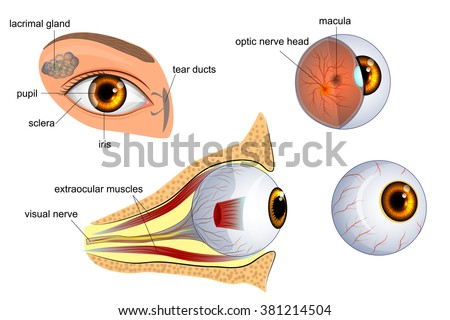 anatomical illustration of the eye. the eyeball entirely and in the contex - stock vector