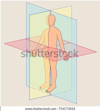 Anatomical Planes Human Body Planes Stock Vector 2018 756573826