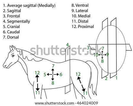 Anatomical Terms Direction Planes Section Medical Stock Vector ...