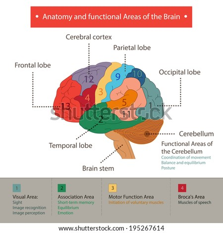 Anatomy and functional Areas of the Brain. - stock vector