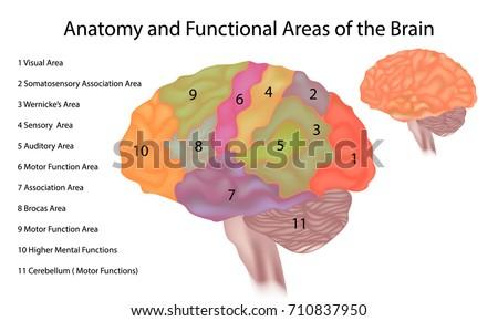 Anatomy Functional Areas Brain Brain Anatomy Stock Vector 710837950 ...