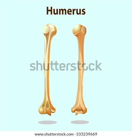 Anatomy Physiology Humerus Bones Element Vector Stock Vector ...