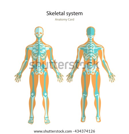 Anatomy guide human skeleton anatomy didactic stock vector anatomy guide of human skeleton anatomy didactic board of human bony system front and view preview ccuart Image collections
