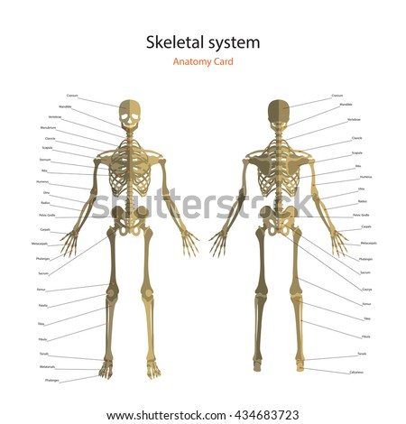 Anatomy guide human skeleton explanations anatomy stock vector anatomy guide of human skeleton with explanations anatomy didactic board of bony system front view preview ccuart