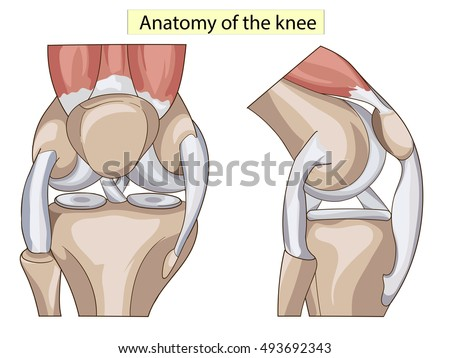 Anatomy Knee Joint Cross Section Showing Stock Vector Royalty Free