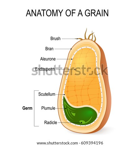 anatomy grain cross section inside seed stock vector 609394196 shutterstock. Black Bedroom Furniture Sets. Home Design Ideas