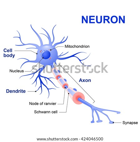 Anatomy of a typical human neuron (axon, synapse, dendrite, mitochondrion,  myelin  sheath, node Ranvier and Schwann cell). Vector diagram - stock vector