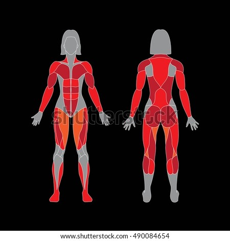 anatomy female muscular system on white stock vector 489910033, Muscles