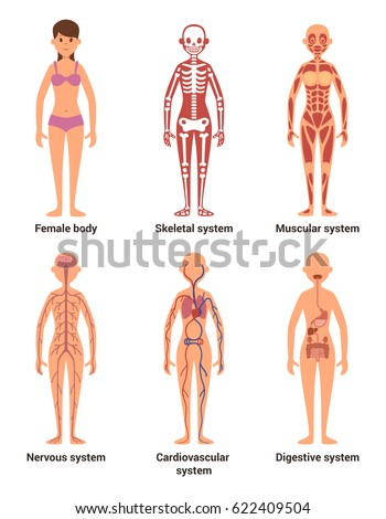 Human nervous system stock images royalty free images vectors anatomy of female vector illustration of nerves and muscular systems heart and other organs ccuart Choice Image