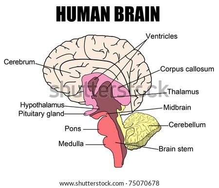 Brain cross section showing basal ganglia stock vector 329843930 anatomy of human brain vector illustration for basic medical education for clinics ccuart Image collections