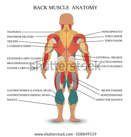 Anatomy Human Muscles Back Template Medical Stock Vector Hd Royalty