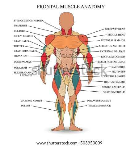 Anatomy Medical Diagram Of Muscles - Residential Electrical Symbols •