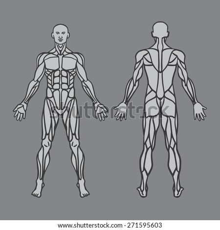 Anatomy Male Muscular System Exercise Muscle Vector de ...