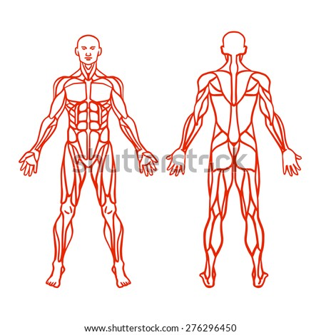 Anatomy of male muscular system, exercise and muscle guide. Human muscles vector art, front view, back view. Vector illustration - stock vector
