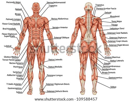 muscles stock images, royalty-free images & vectors | shutterstock, Muscles