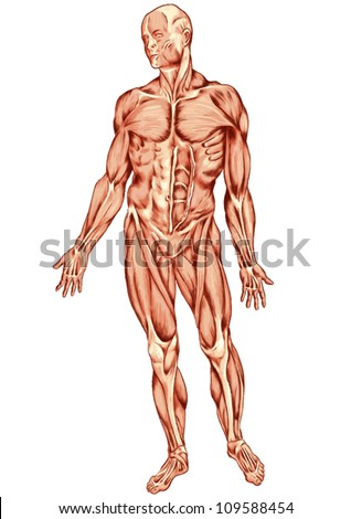 Anatomy of man muscular system - anterior view - ecorche - ecorshe - stock vector