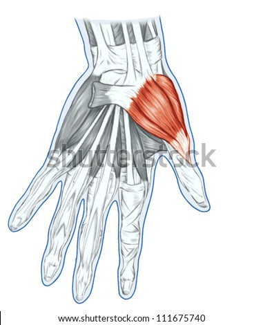 Anatomy Muscular System Hand Palm Muscle Stock Vector (2018 ...