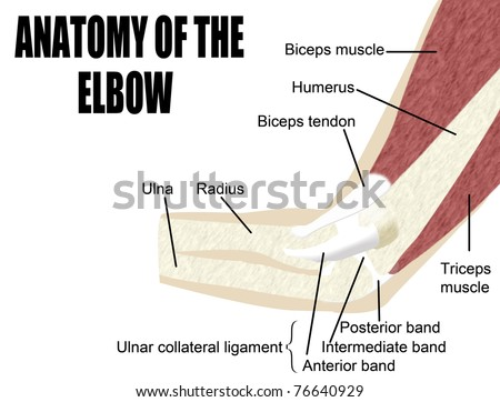 Anatomy of the elbow, bones & muscles of the arm - Useful for Education, Hospitals and Clinics - stock vector