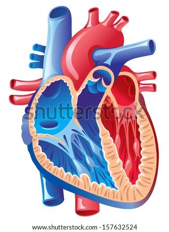 Anatomy of the Heart - stock vector