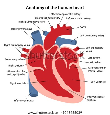 Anatomy human heart cross sectional diagram stock vector royalty anatomy of the human heart cross sectional diagram of the heart with main parts labeled ccuart