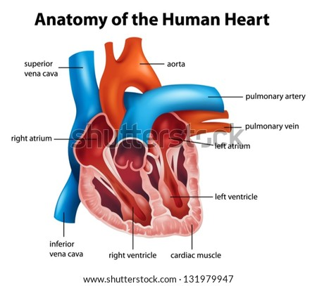 human heart anatomy stock images, royalty-free images & vectors, Human Body