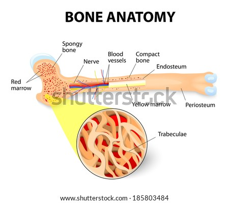 periosteum stock images, royalty-free images & vectors | shutterstock, Human Body