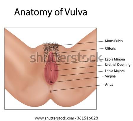 Human image vulva