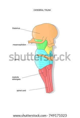 Anatomy Section Cerebral Trunk Medical Terms Stock Vector (Royalty ...