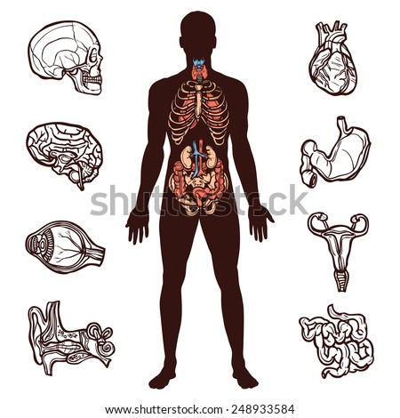 Anatomy set with sketch internal organs and human figure isolated vector illustration - stock vector