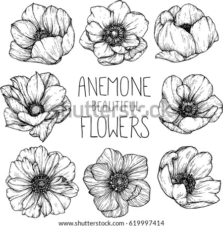 Anemone Flowers Drawing Illustration Vector And Clip Art
