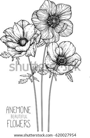 Stock Vector Anemone Flowers Drawing Vector Illustration And Line Art