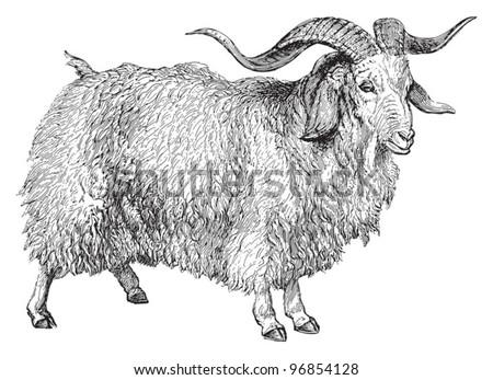 Angora goat (Capra angorensis) / vintage illustration from Meyers Konversations-Lexikon 1897 - stock vector