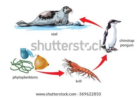 Antarctic food chain example - stock vector