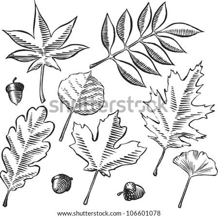 Acorn Tree Drawing Tree Leaves And Acorns