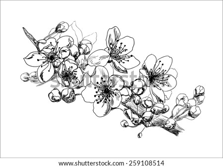 Apricot blossom. Hand drawing