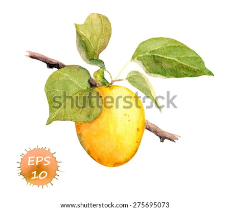 Apricot fruit. Watercolor vector. Botanical illustration