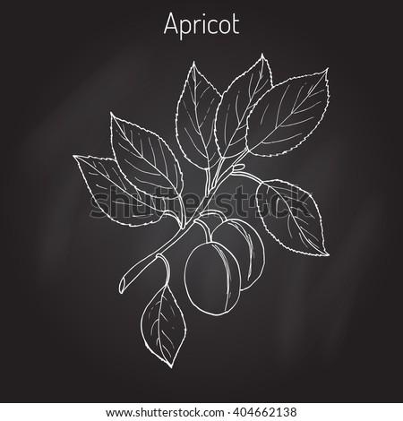 Apricot, Prunus armeniaca (Armenian plum),  or ansu apricot, Siberian apricot, Tibetan apricot. Hand drawn botanical vector illustration - stock vector