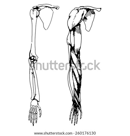 arm bones muscle vector illustration parts stock vector 260176103, Muscles