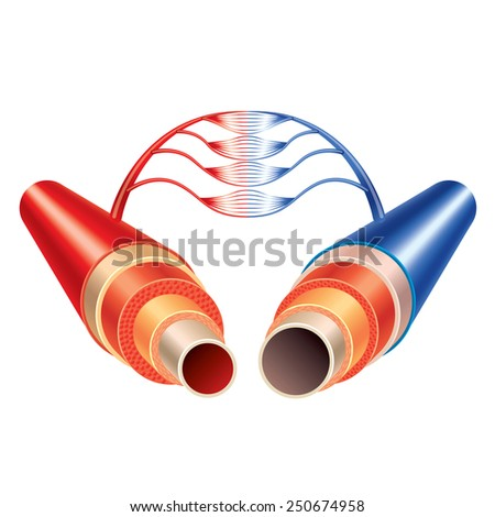 Artery and vein vessels circulatory system isolated vector - stock vector