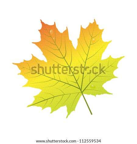 Autumn leaf of maple isolated on white. - stock vector