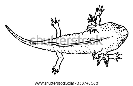 Mexican salamander stock images royalty free images for Walking fish for sale