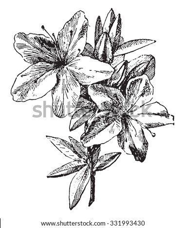 Azalea, vintage engraved illustration. Dictionary of words and things - Larive and Fleury - 1895. - stock vector