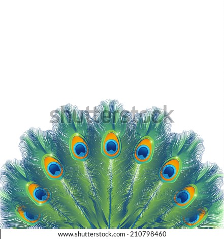 Background with peacock feathers isolated on white, vector illustration - stock vector