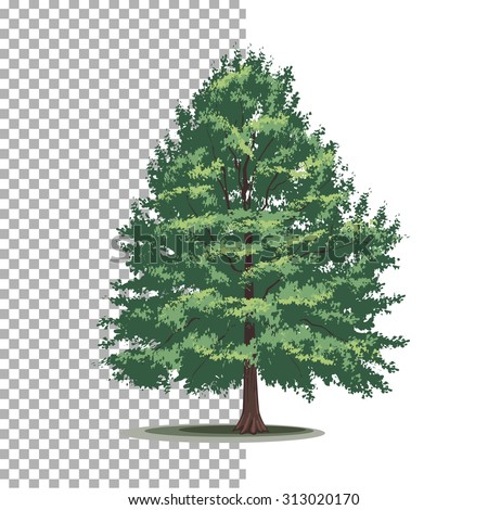 Bald-cypress tree. Isolated vector tree on white background. - stock vector