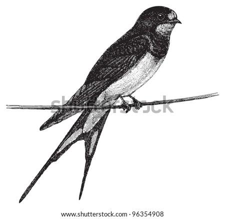 Barn Swallow (Hirundo rustica) / vintage illustration from Meyers Konversations-Lexikon 1897 - stock vector