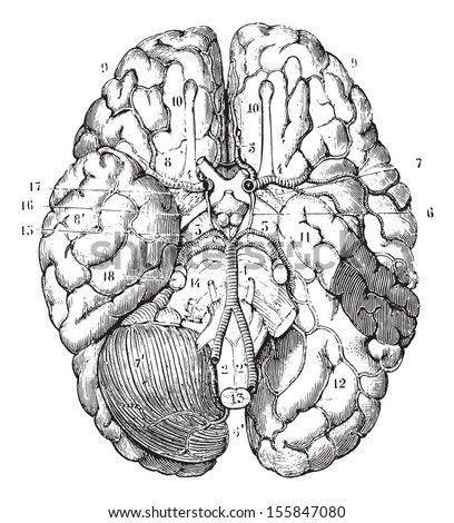 Base of the brain, vintage engraved illustration. Usual Medicine Dictionary by Dr Labarthe - 1885. - stock vector
