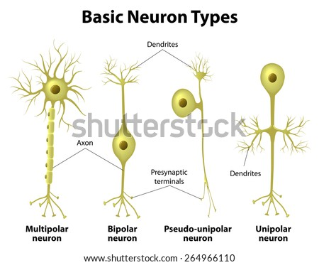 Basic neuron types. Unipolar, pseudo-unipolar neuron, bipolar, and multipolar Neurons. Neuron Cell Body. Different Types of Neurons - stock vector