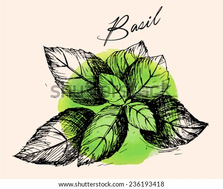 Basil. Compilation of vector sketches. Kitchen herbs and spice. Vintage style. Hand drawn. - stock vector