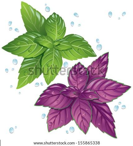Basil leaves - stock vector